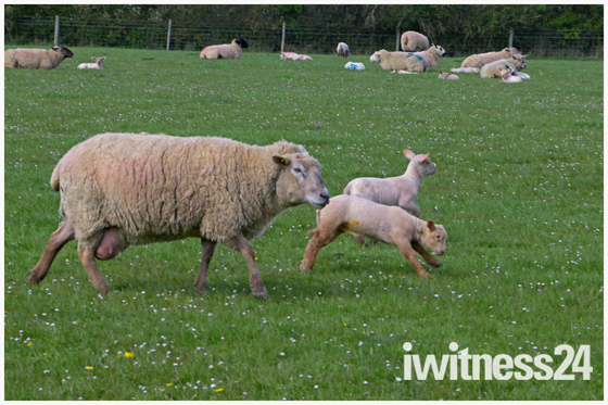 spring lambs standalone farm