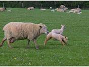 spring lambs standalone farm