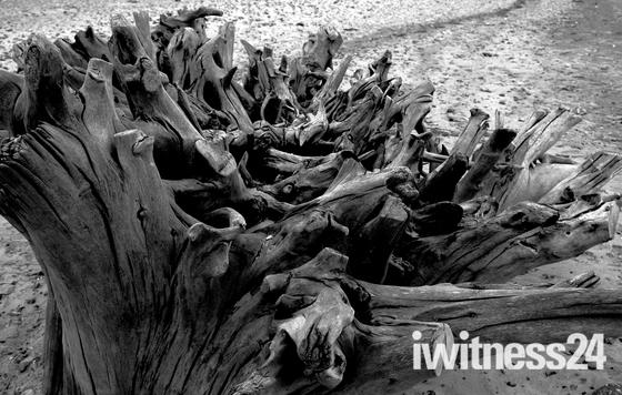 Fallen trees on Benacre Beach