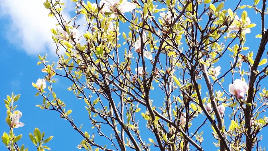 Magnolia en wolkenlucht