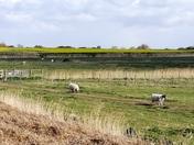 Spotting sheep