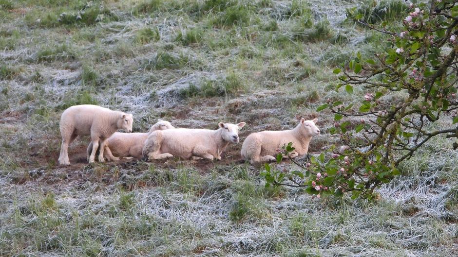 Bloesem, schapen en nachtvorst.
