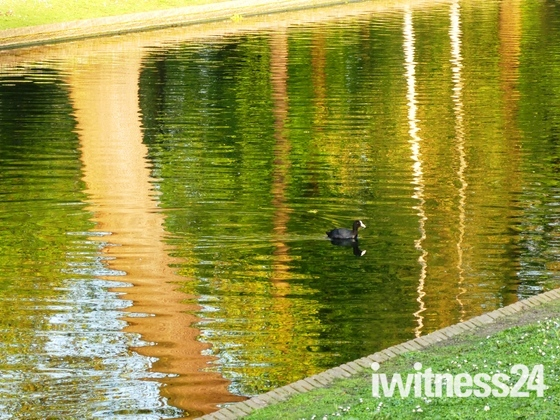 Coot in Evening Lighting