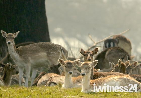 Holkham Hall. The beautiful Deer enjoying the sun last weekend.