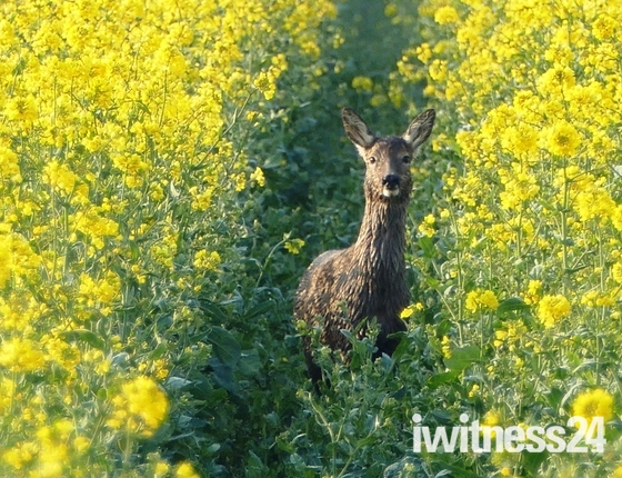 Dew soaked Roe deer in the rape crop.