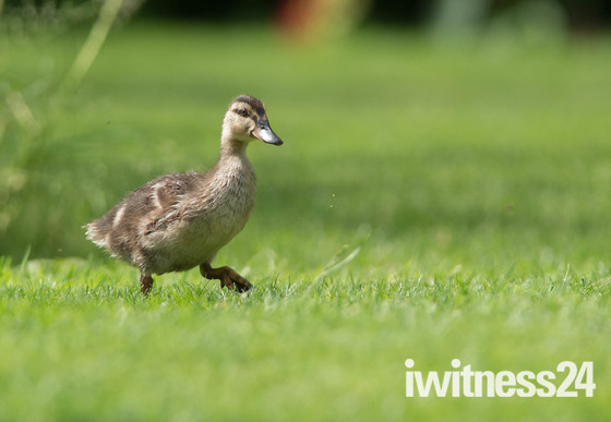 A lone Easter Duckling.