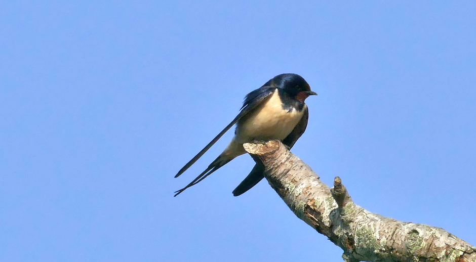 Boer'n zwaluw tegen strakblauwe lucht de Horsten Wassenaar