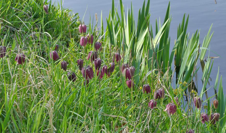 Wilde kievitsbloemen in de Horsten Wassenaar.