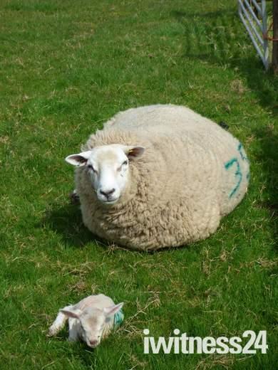 Baby lamb and it's baby lamb