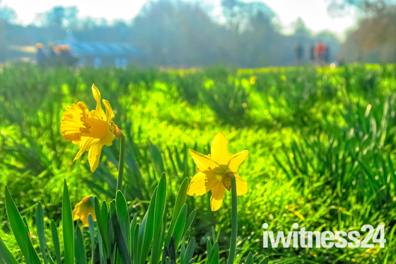 Daffodils In Norwich
