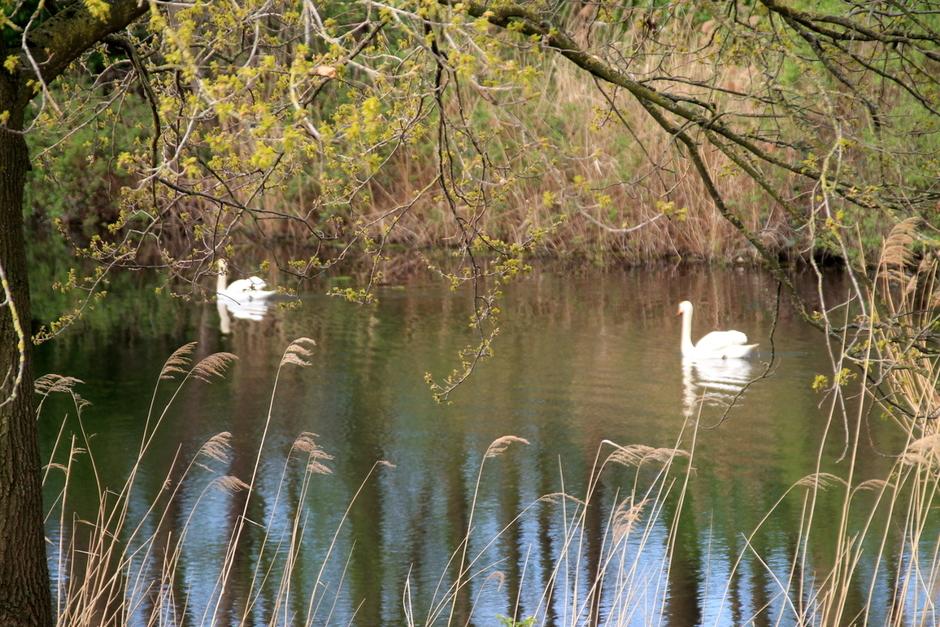het is lente zwanen eenden en alle vogels hebben ook dat gevoel