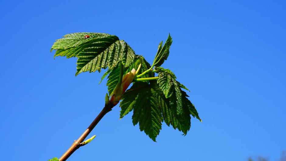 Blauwe luchten, nieuw blad en lieveheersbeestje