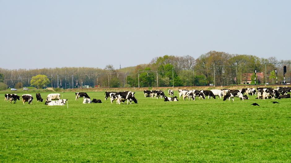 Zonnige koeienweide