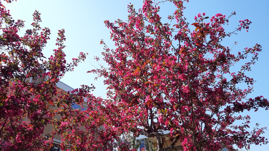 Prachtige appelbloesem in de zon
