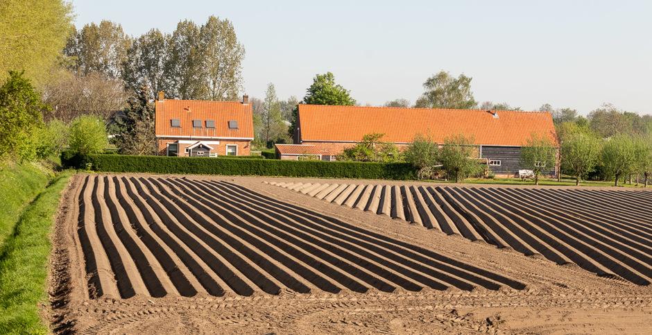 Aardappels staan in de (droge) grond