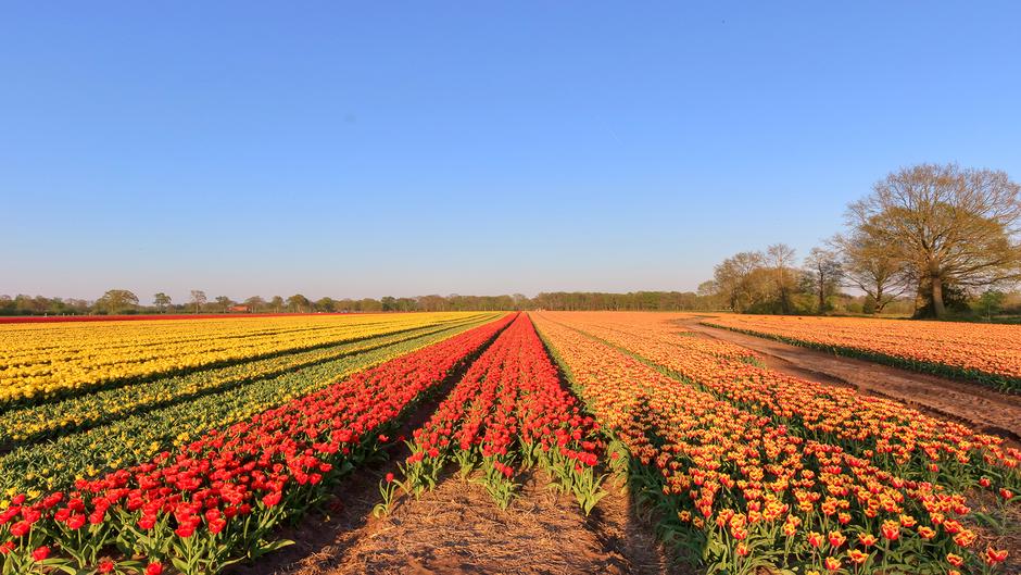 22-04-2019 Een strak blauwe lucht boven de tulpenvelden in Tubbergen, Overijssel