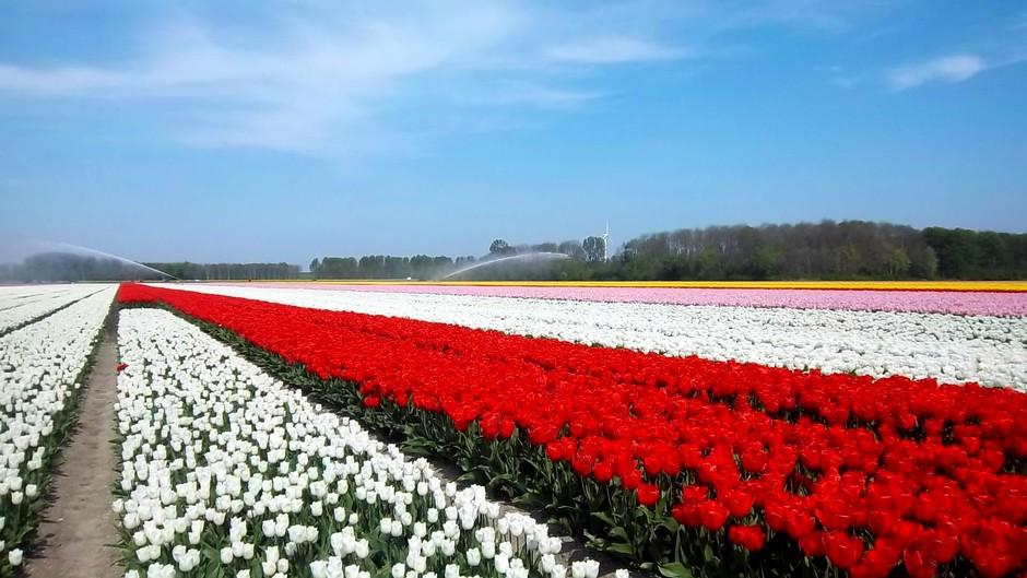 Tulpenroute Flevoland, lichte bewolking, sproeien vandaag erg nodig