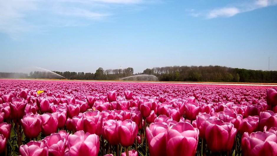In Lelystad lichte bewolking, prachtige bloembollenveld