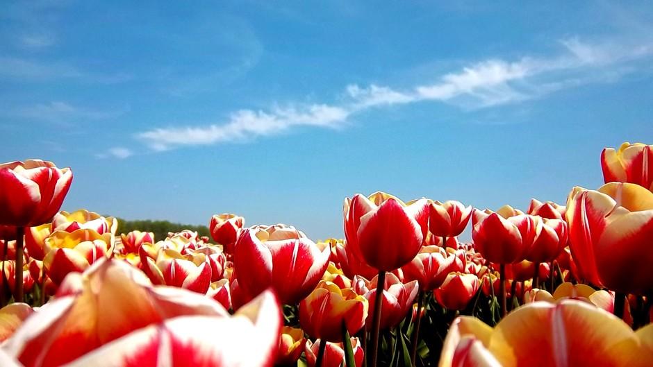 Temidden van de bolbloemen, lichte bewolking