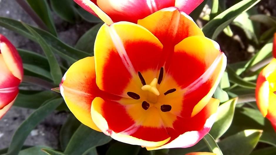 Tulpen blijven mooi zie eens de details..