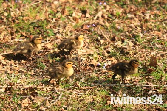 Mallard and ducklings