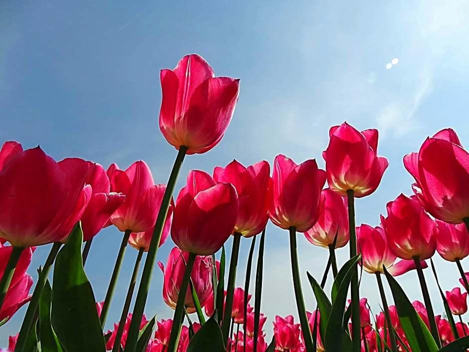 Tulpen nog in volle bloei.
