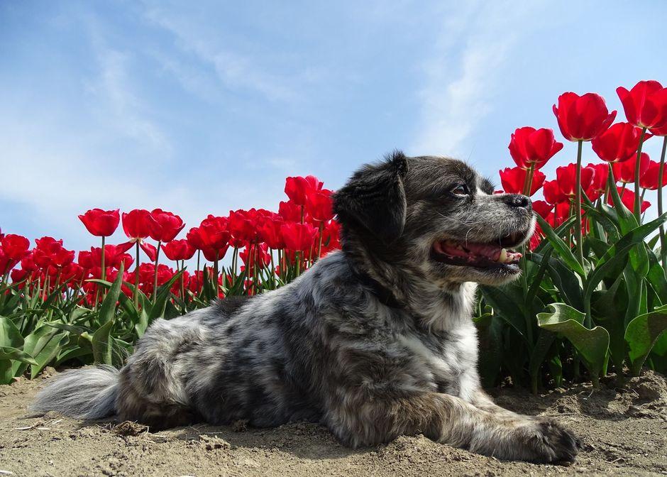 Genieten van de prachtige tulpen.