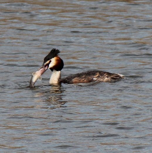 Perch battles with Grebe