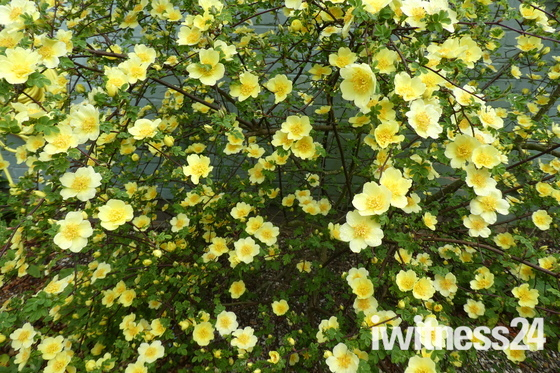 'Canary Bird' Rose