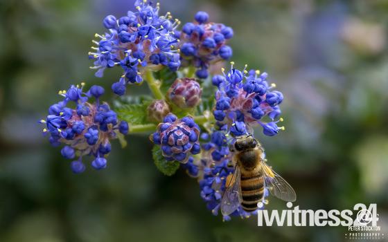 feeding on pollen