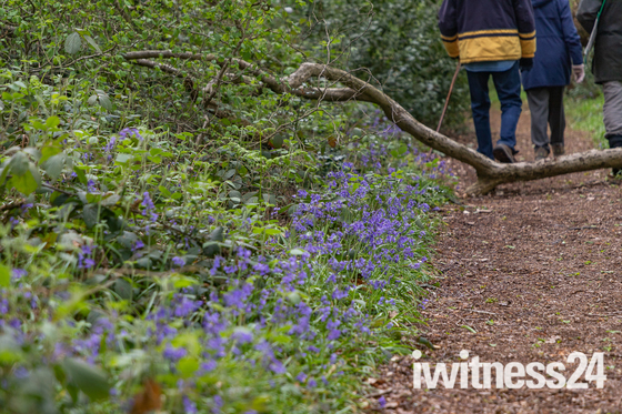 Bluebells and April showers around Polstead