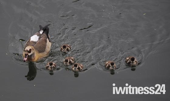 Egyptian geese Goslings