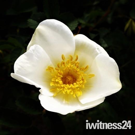 First Rose of Spring