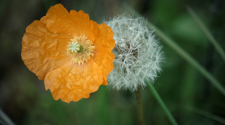 De Oranje Klaproos en Paardenbloemenpluis.5 mei, Ik blaas en zeg  'Vrijheid respect en tevredenheid voor iedereen''.