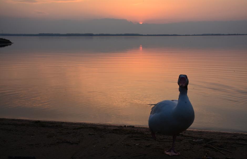 Mijn ganzenvriendje bij zonsondergang.