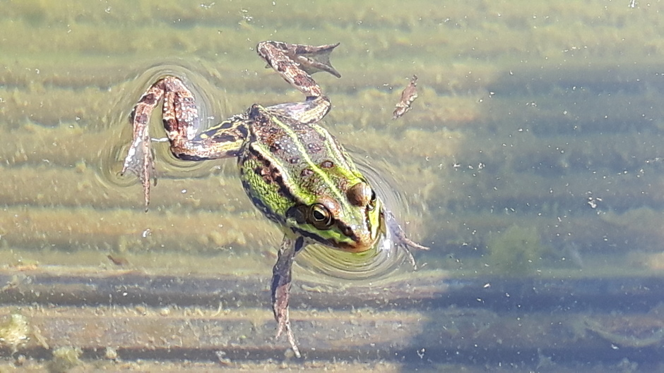 Zonnebadende groene kikker!