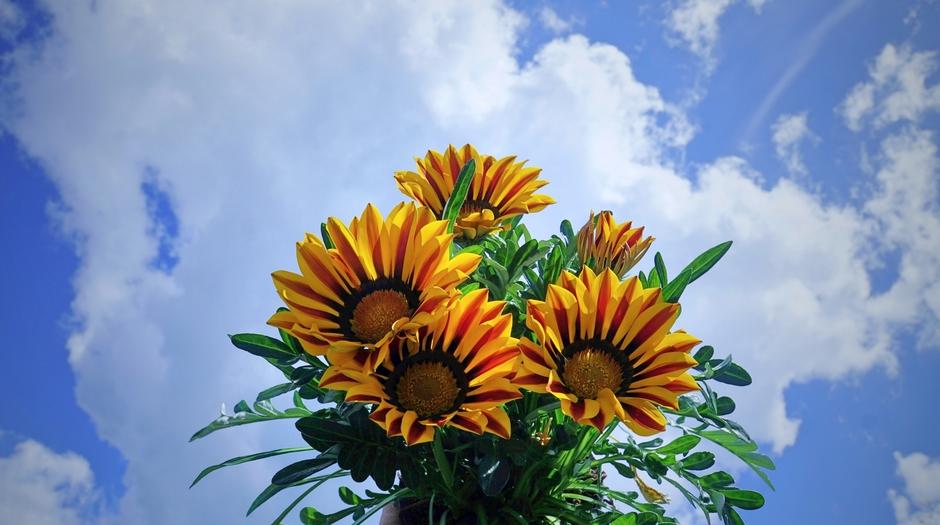 Zon en gaten in de wolken. Moederdag, dus Bloemen. Gazania,s.