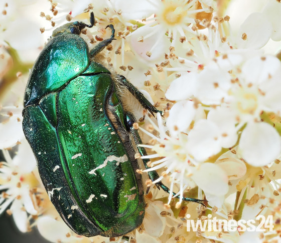 Iridescent green beetle