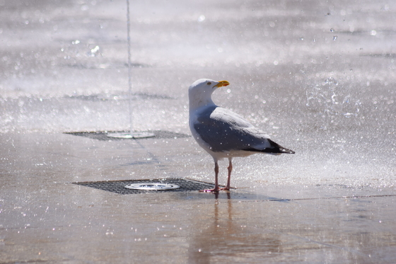 Herring Gull Drinking On The Fountains on the Royal Plain Lowestoft