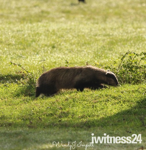 Badger out for a morning stroll