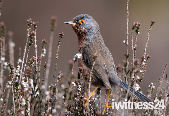 Dartford warbler in heather