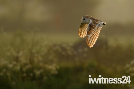 Barn Owl at Old Buckenham