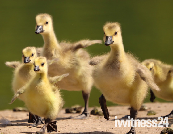 As gaggle of goslings