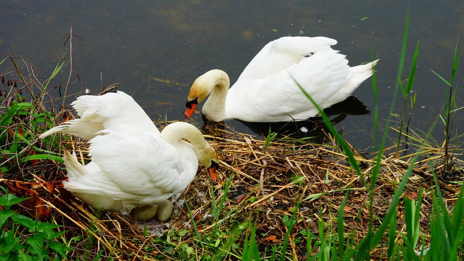 Zwanenpaar beschermt eieren
