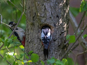 Greater Spotted Woodpeckers