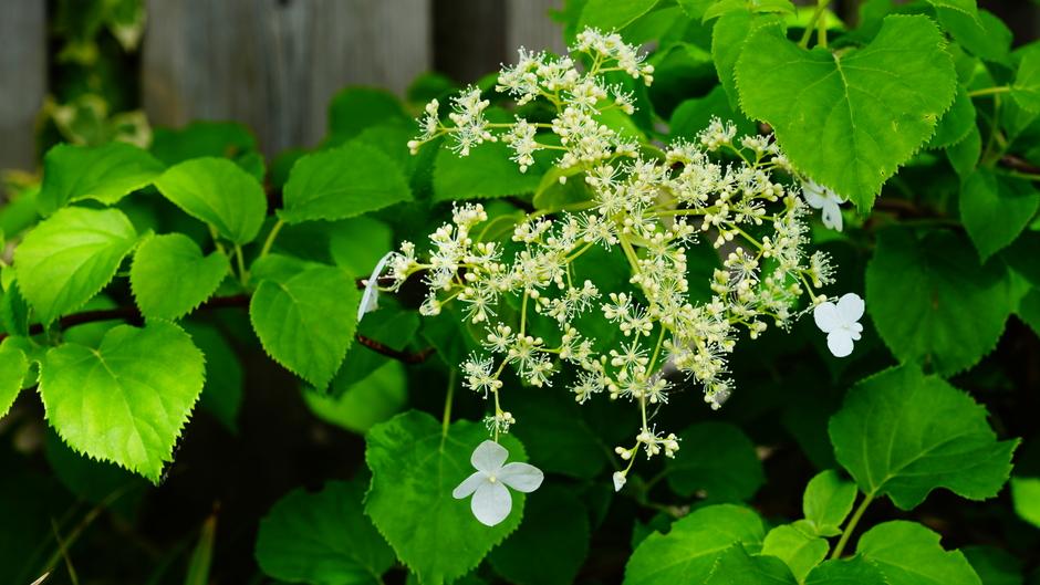 Hortensia komt in bloei