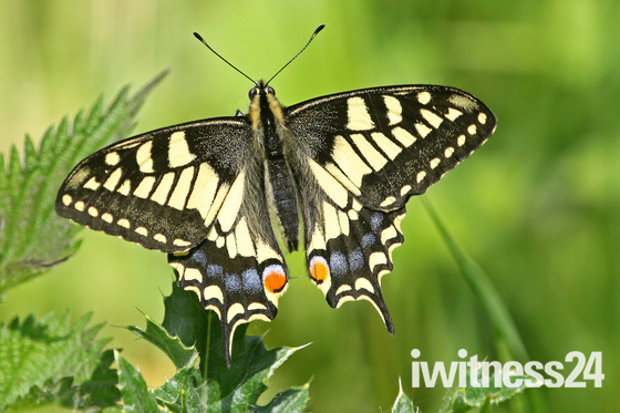 Norfolk's own Swallowtail Butterfly