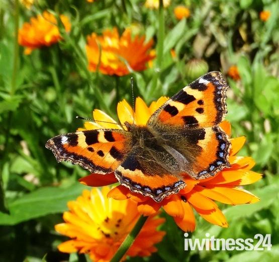 Tortoiseshell Butterfly on Marigolds.(photo challenge )