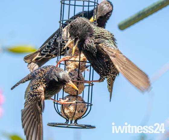 Squabbling starlings