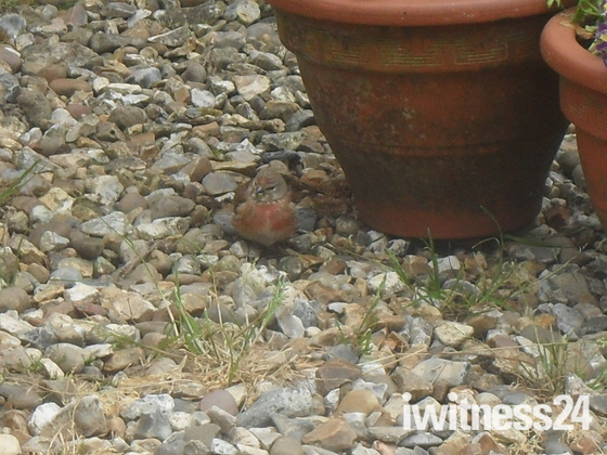 Young Linnet.